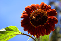 Red Sunflower With Bee